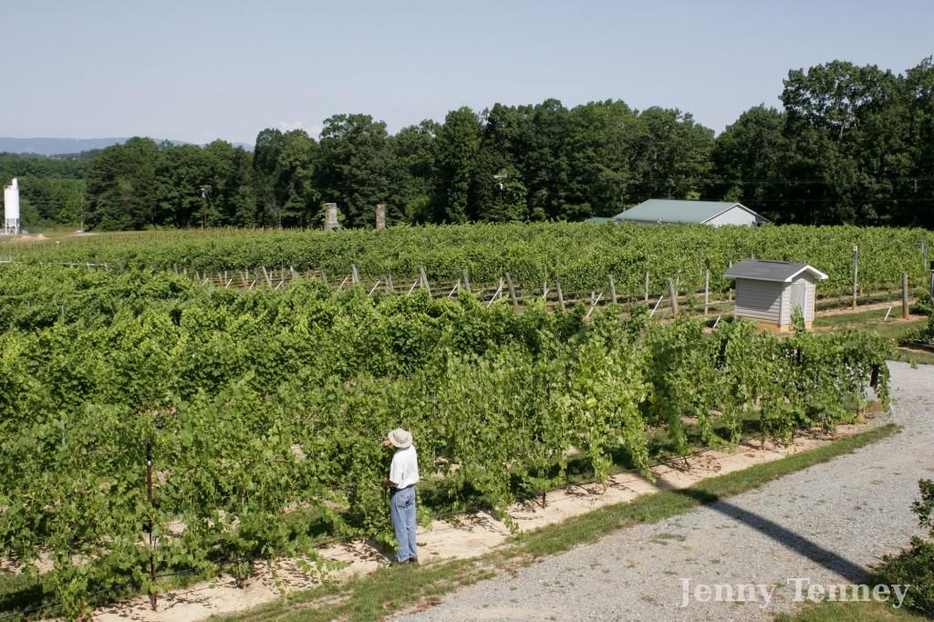 vineyard02