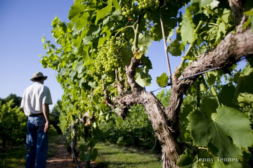 vineyard03